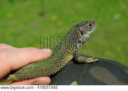 European Green Lizard Lacerta Viridis In Human Fingers. Little Lizard Turning Back And Looking Into