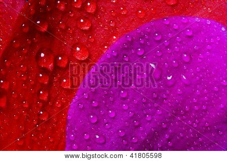 red and violet texture of a flower petal rose and drops poster