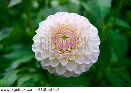 Pink Rose On White Beautiful White And Pink Rose With Background Nature New Picture Single Flower Be