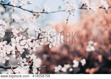Pink Cherry Blossom Beautiful Cherry Tree Nature Landscape Nature Beauty Flowers Floral Fragile Seas