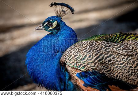 Male Adult Indian Peafowl. Portrait Of A Blue Peacock. Closeup Of Head And Tail. Beauty In Nature.