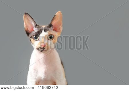 Close-up Muzzle Of Cat Breed Devon Rex, Portrait On Gray Background, Copy Space