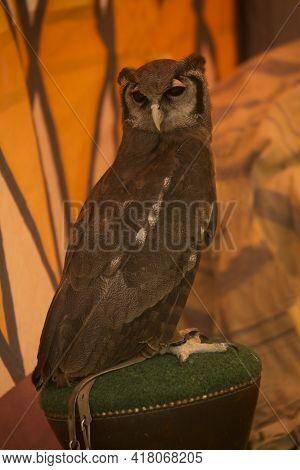 Verreaux's Eagle-owl,  Milky Eagle Owl , Giant Eagle Owl, (bubo Lacteus).