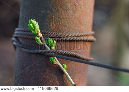 A Fresh Stem With Young Green Leaves Is Entangled With A Coarse Iron Rope. Freedom Oppression Concep