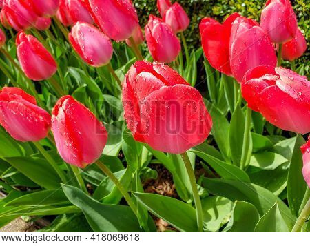 Close-up Of Pink Tulips In A Field Of Pink Tulips With Water Droplets. Spring Background With Pink T
