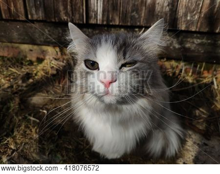 Striped Gray Fluffy Cat With A White Muzzle Squints In The Sun. Pretty Cat