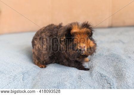 Guinea Pig Short Hair. Short-haired Guinea Pig, Purebred Merino Guinea Pig.