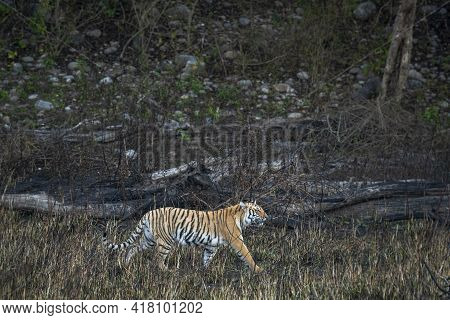 Wild Bengal Tiger On Stroll Or Prowl For Territory Marking Of Terai Region Forest At Uttarakhand Ind