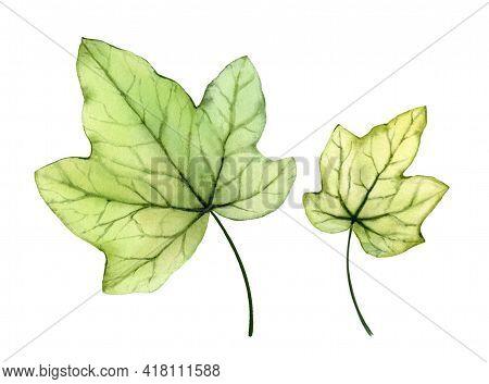 Watercolor Ivy Leaves. Transparent Tree Foliage Isolated On White. Realistic Detailed Botanical Illu