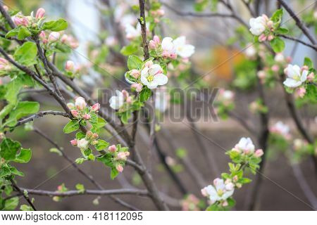 Blooming Apple Tree In Spring Time And Black Soil On Background. Close Up Shot Of White Flowers
