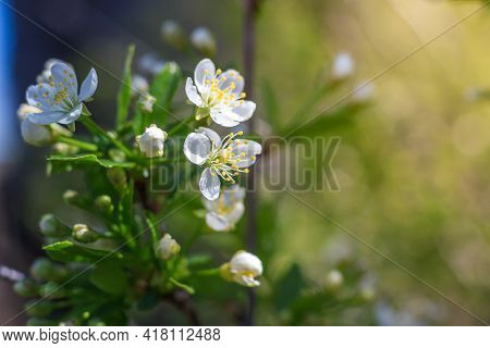 Spring Blossom Flower On Bright Blue Sky Background. Macro Cherry Blossom Tree Branch