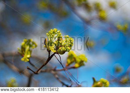 Tree Buds In Spring. Young Large Buds On Branches Against Blurred Background Under The Bright Sun. B