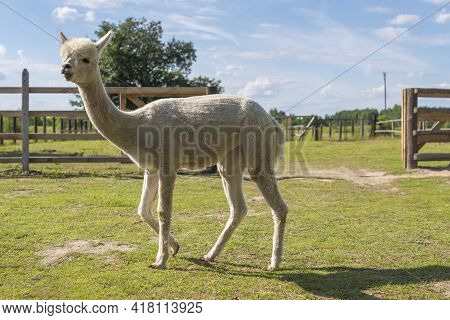 Adult White-coated Alpaca Like A Llama In A Farmhouse. Beautiful Summer Day In The Countryside With
