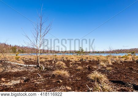 Sunny Bright Early Spring Day At Squishy Swamp. Birches Is Growing In Wetlands, One Birch Is Fallen