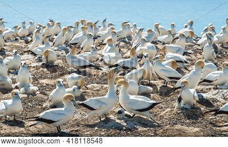 The Australian Gannet Birds Colony At Cape Kidnappers In Hawke's Bay Region Of New Zealand. The Cape