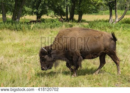 An Adult American Plains Bison In A Pasture