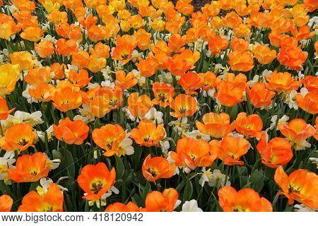 Beautiful Orange Color Of Darwin Hybrid Tulip 'daydream' Flowers At Full Bloom