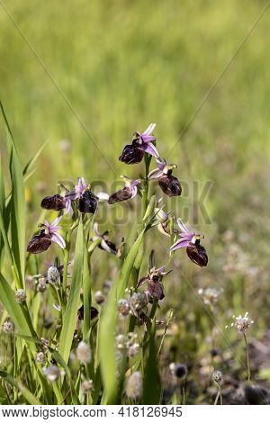 Rare Orchid (ophrys Ferrum-equinum) With Flowers Growing In Natural Habitat On A Sunny Spring Day Cl