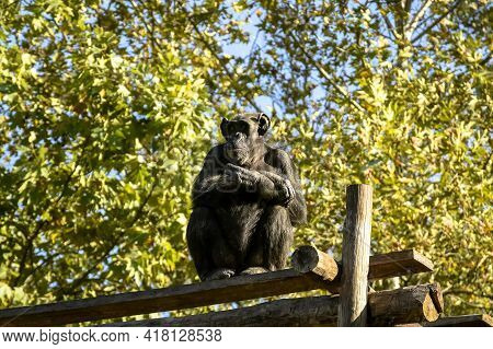 Chimpanzee Monkey Folded His Arms Over His Chest And Looks Into The Distance. The Roof Of The House
