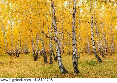 Autumn Birch Forest Yellow Leaves On The Ground And On Trees. Autumn In A Birch Grove