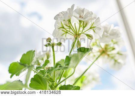 Pelargonium, Geranium. Flowering Bushes Of White Pelargonium