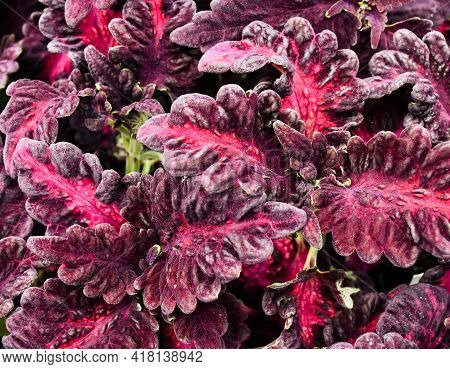 Ruffled Pink And Magenta Coleus Leaves Close-up