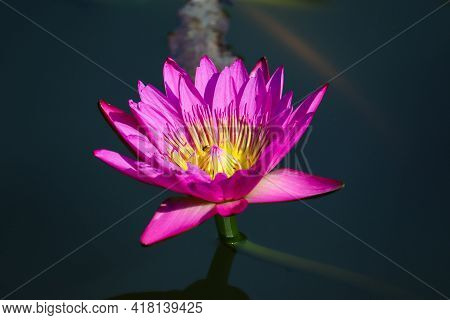Blooming Pink Lotus Flower In The Lotus Pond With Soft Sunlight In The Afternoon