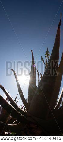 Plantation of medicinal aloe vera plant in the Canary Islands. Aloe Vera in farm garden  in desert Furteventura