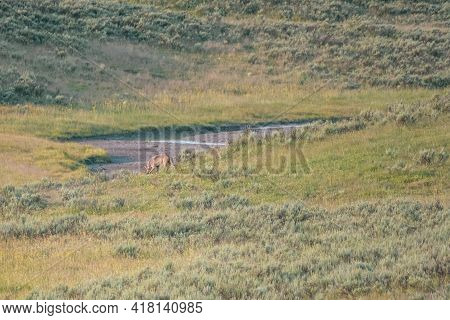 Gray Wolf Looks For Scent Of Fellow Wolves In Yellowstone's Hayden Valley