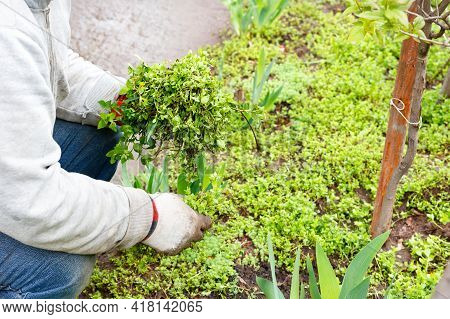 A Farmer Wearing Linen Gloves Weeds A Bed And Removes Weeds From A Flower Bed In A Spring Garden. Co
