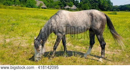 Gray Horse With Long Mane In A Green Meadow. Rural Landscape. Wide Photo.