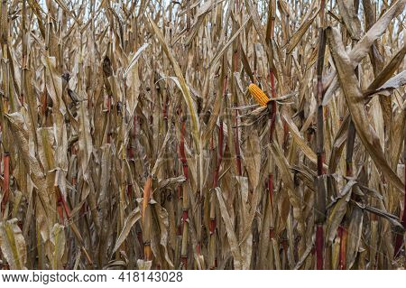 Dried Cornfield And Ripe Corn Cob With Yellow Seeds On An Autumn Day