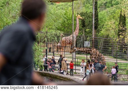 Yalta Russia - May 3, 2019 The Zoo. A Giraffe In The Zoo Park, People Walk With Children Near The Av