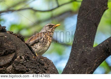 Fieldbird Sits On A Branch In Spring With A Blurred Background. Fieldfare, Turdus Pilaris.