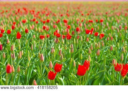 Colorful Tulips In An Agricultural Field In Sunlight In Spring, Almere, Flevoland, The Netherlands,