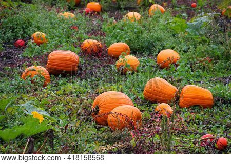Field With Ripe Orange Pumpkins Lying On The Ground.