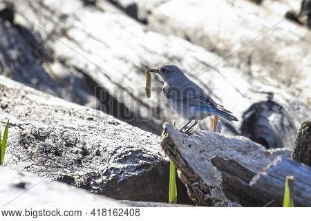 Female Mountain Bluebird Eat Worm At British Columbia Canada; North American