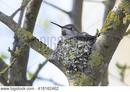 Anna's Hummingbird Nest At Delta Bc Canada