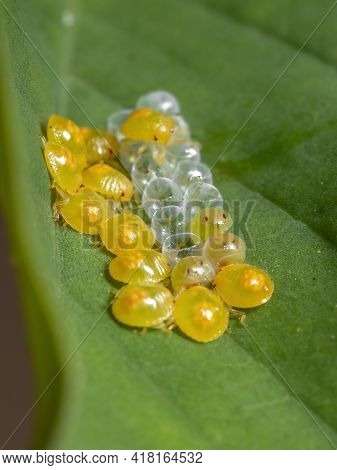 Yellow Stink Bugs Nymphs