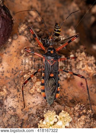 Assassin Bugs Preying On A Wasp
