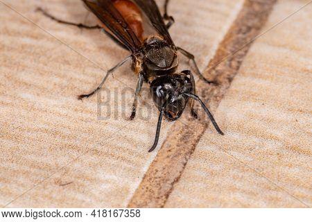 Long-waisted Honey Wasp
