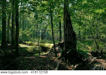 Shady Deciduous Tree Stand