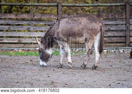 Quiet Gray Donkey Inside A Fence On A Farm.