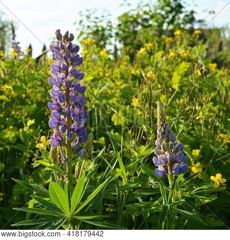 Beautiful Lupin Flowers On The Background Of Celandine. Summer Day In Flowering Garden.