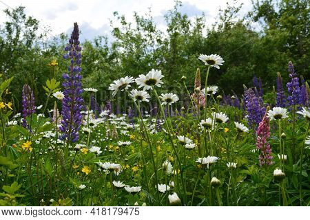 Flowering Meadow With Flowers Of Lupins, Daisies And Celandine. Nature In Summer.