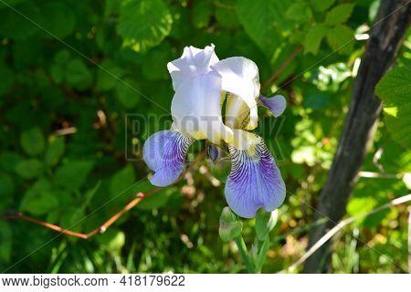 Closeup View Of Beautiful Flower Of Iris Germanica In The Garden