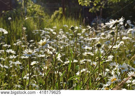 Meadow In Summer With Wild Daisy Flowers And Herbs.