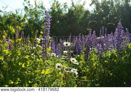 White Daisy And Violet Lupin Flowers On Green Lawn In Summer Sunny Day
