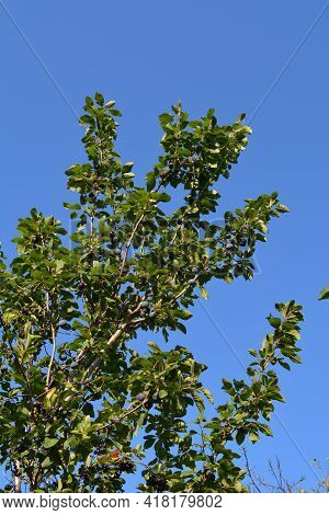 Plum Tree With Ripe Plums On The Background Of Blue Sky