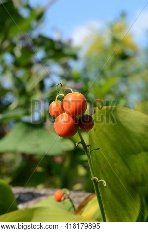 Red Berries Of Lily Of The Valley In The Garden In Sunny Day.  Convallaria Majalis